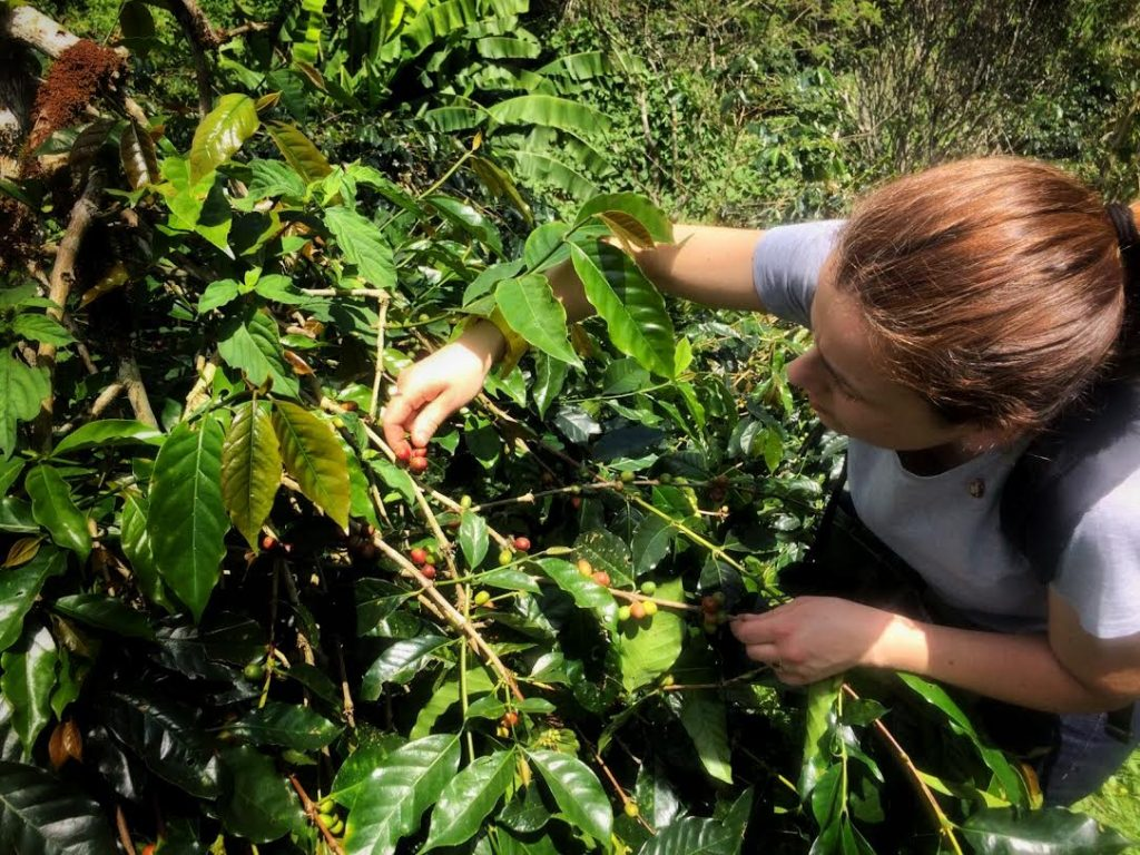 La raccolta delle drupe mature