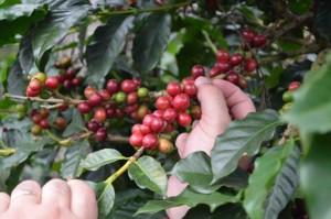 Raccolta del caffè a mano