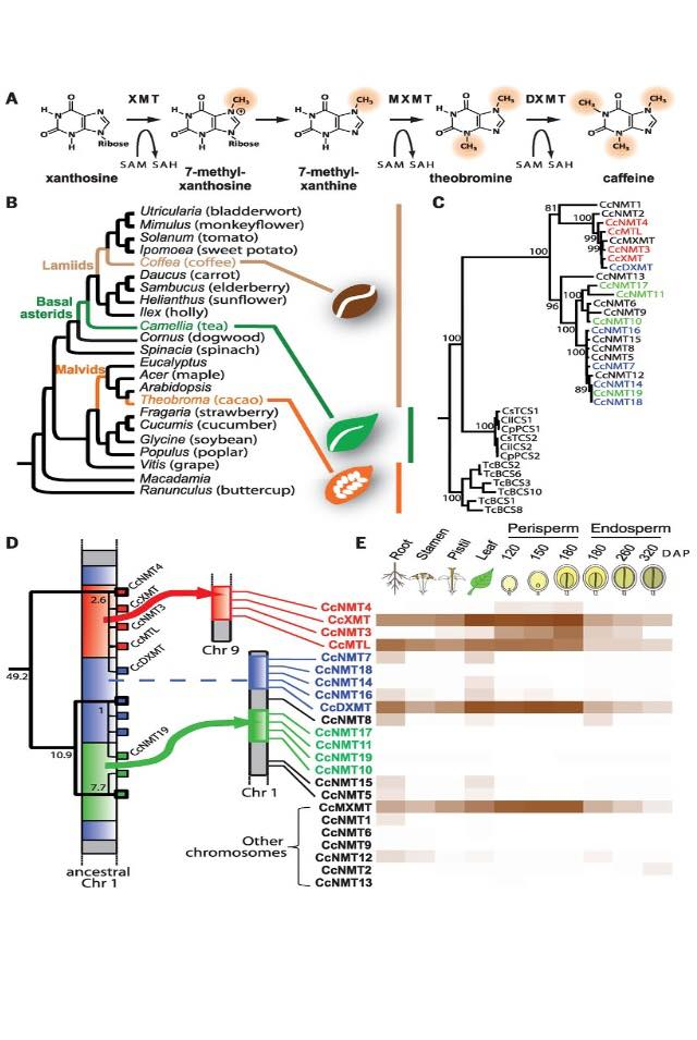 Schema sull'evoluzione della caffeina