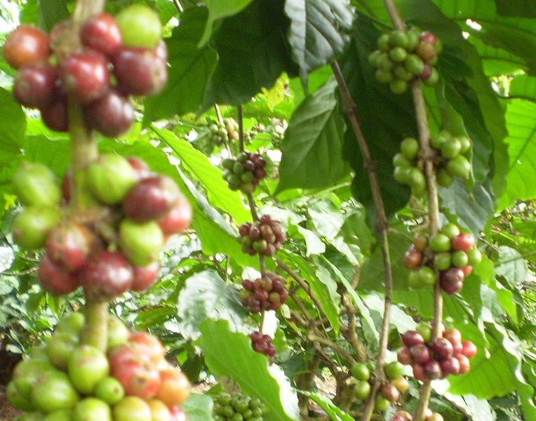 Le drupe del caffè, notare come se alcune sono perfettamente mature altre sono ancora verdi.