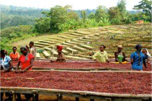 Asciugatura delle drupe in Etiopia