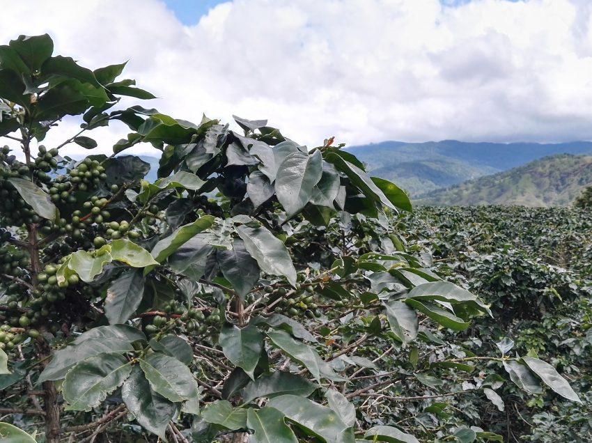 IN VIAGGIO ALLA SCOPERTA DELLA PRODUZIONE DI SPECIALTY COFFEE IN VIETNAM
