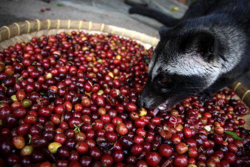 IL CAFFÈ DELL'ANIMALETTO, IL KOPI LUWAK