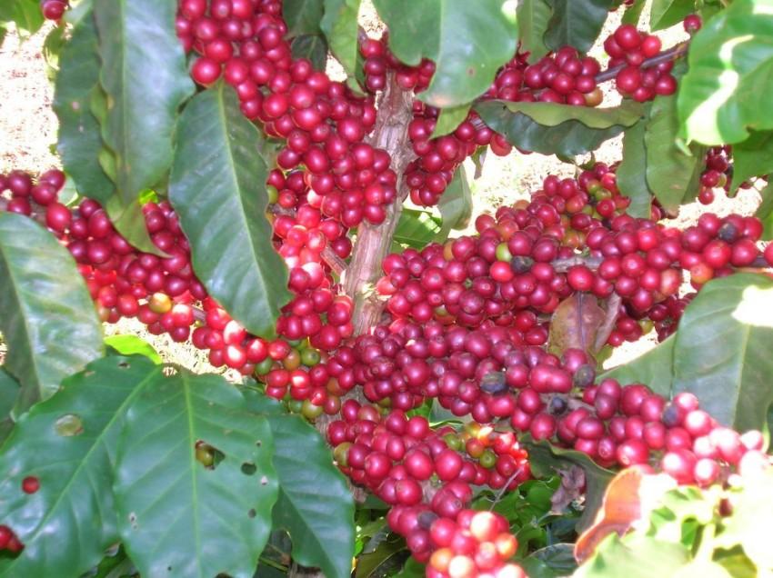 DIGNITA' AL CAFFE' ROBUSTA