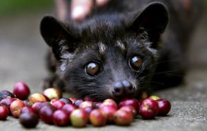 """Il luwak, l'animaletto che ingerisce le bacche di caffè """"producendo"""" il caffè più caro del mondo."""