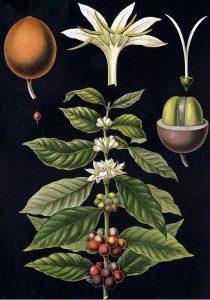 Coffea Charreriana