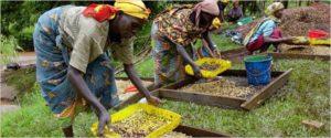 Selezione del caffè in Rwanda