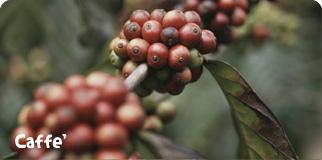 DIFFERENTI METODI DI RACCOLTA DEL CAFFE',STRIPPING E PICKING IN DUE VIDEO.
