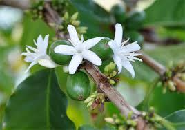 I fiori del caffè
