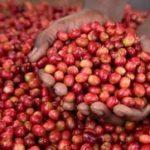 Drupe di caffè mature Rwanda