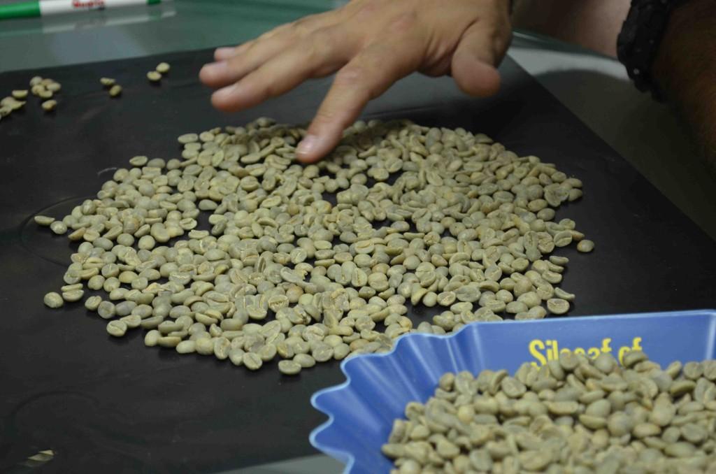 selezione del caffè verde